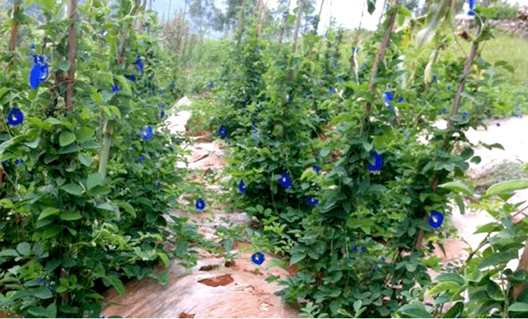 Тайский синий чай Анчан, он же Чанг Шу - секрет совершенства или...